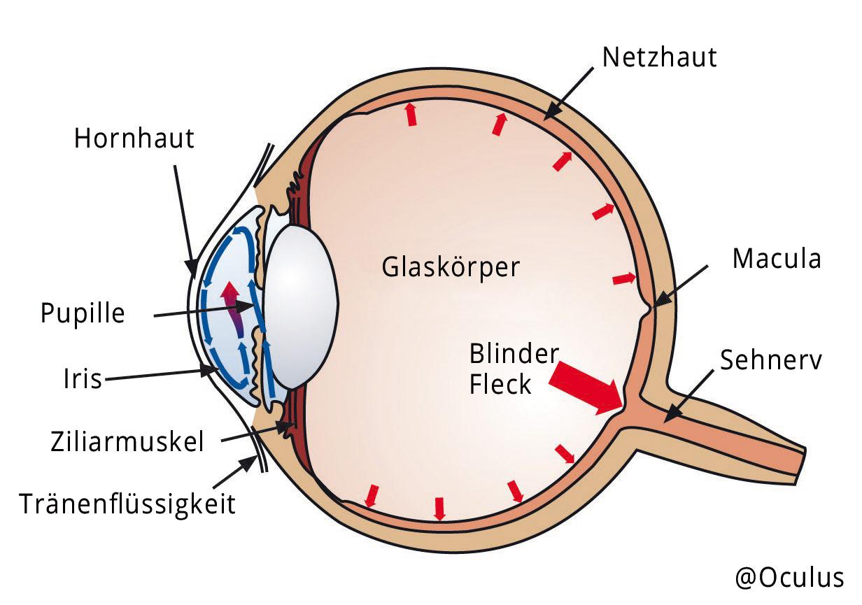 Aufbau Auge ©Oculus